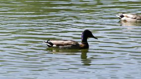 Ducks on the lake. Two male ducks swim across the lake stock video footage