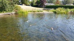 Ducks in lake Royalty Free Stock Photo