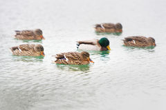 Ducks in lake water Royalty Free Stock Images