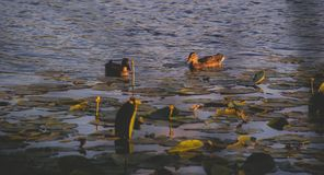 ducks in a lake with waterlilies Stock Images