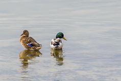 Ducks in a lake Royalty Free Stock Photography