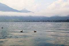 The ducks on the lake Wolfgangsee near to mountains in the cloudy weather. Royalty Free Stock Photos