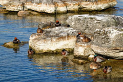 Ducks on the lakeside. Duck (Red-crested pochard, Eurasian coot and mallard) on the edges of the lake Leman in the Geneva harbour, by a sunny morning Stock Photo