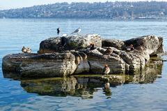 Ducks on the lakeside. Duck (Red-crested pochard and mallard) on the edges of the lake Leman in the Geneva harbour, by a sunny morning Stock Photography