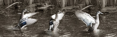 Ducks landing Royalty Free Stock Image