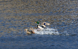 Ducks Landing on the water. Ducks flying in to rest on the water Stock Photography
