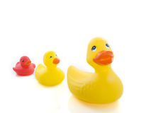 Ducks learning to swim. Two yellow ducks followed by the little red one Stock Photography