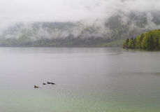 Ducks on a leke. Ducks swimming in a leke on a cloudy day royalty free stock images