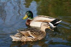 Ducks like married couple. Two ducks, he and she on riverine, detail Stock Photo