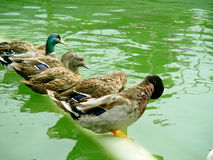 Ducks line royalty free stock photos