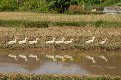 Ducks in Line. Eight ducks in a line in a paddy field in Vietnam reflected in a nearby stream Stock Photography