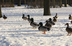 Ducks lined up a wedge of snow in the Park, feathers, birds. Winter, sun Stock Images