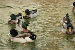 Ducks in livestock farms Stock Image