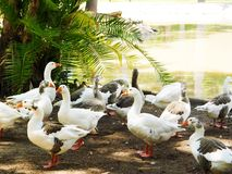 Various types of ducks resting on a zoo. Ducks living on an habitat specially designed for them Stock Photography