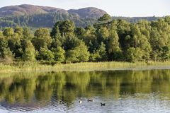 Ducks on Loch of Lowes royalty free stock photography