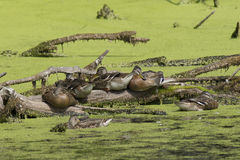 Ducks on a log. Several ducks are gathered on a log in a wetlands area Royalty Free Stock Photos