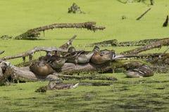 Ducks on a log. Royalty Free Stock Photos