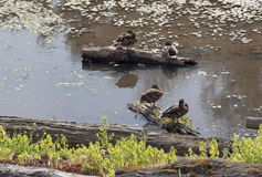 Ducks on logs in quiet pond Royalty Free Stock Photo