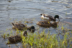 Ducks on the Loire river in France Royalty Free Stock Photo