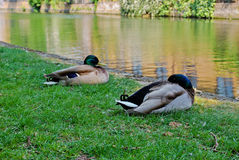 Ducks in London Royalty Free Stock Photos