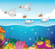 Ducks looking for food. Illustration of ducks looking for foods in the sea Stock Photos