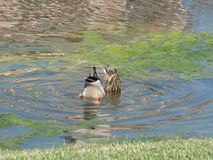 Ducks looking for food. Two comic ducks looking for food Stock Images