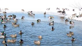 Duck in the winter. The ducks are looking for something in the winter. They like sunshine and snow. Snow is very cold in winter stock footage