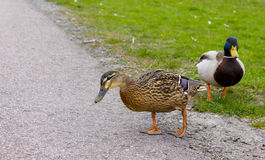 Ducks looking to feed Stock Photography