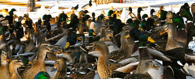 Ducks. Lots of ducks all frenzied after food Royalty Free Stock Photography