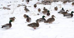 Ducks. Lots of ducks near the river Stock Photo