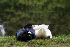 Ducks in love. A hug between two ducks in front of a mountain lake Royalty Free Stock Images