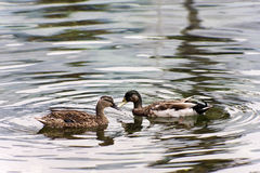Ducks In Love Stock Image