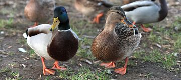 Ducks in love. Mallard Duck and Female Royalty Free Stock Photo