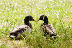 Ducks in love Stock Images