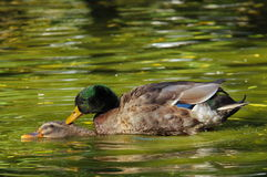 Wild ducks on the water. Two wild ducks on the water, in love Stock Images