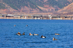 Ducks on Lugu Lake Royalty Free Stock Photography
