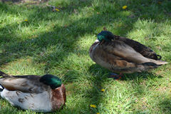 2 ducks Royalty Free Stock Photography