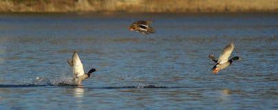 ducks mallard полета Стоковые Фотографии RF