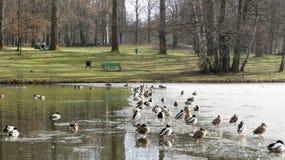 ducks mallard Стоковые Фото