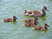 ducks mallard Стоковое фото RF