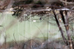ducks mallard 2 Стоковая Фотография RF