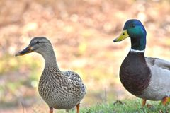 Ducks, Mallard, male and female. Mated pair. feeding next to a pond in Northwest Oklahoma City Stock Photography