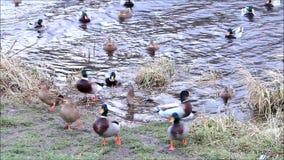 Ducks mallard in the nature swimming in a river stock video