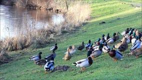 Ducks mallard in the nature in winter near a lake stock video