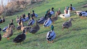 Ducks mallard in the nature in winter near a river stock footage