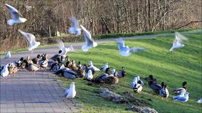 Ducks mallard and seagull in the nature on a dike stock video footage