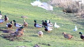 Ducks mallard and seagull in the nature in winter stock video footage