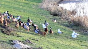 Ducks mallard and seagull in the nature in winter stock footage