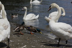 Ducks, Mallards and swans 8436 Stock Photography