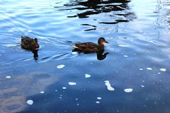 Ducks on the lake. Ducks on the Malta lake in Poznan, Poland Stock Photography